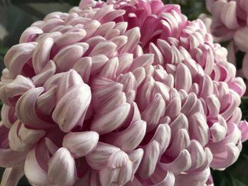 I様が大事で育ておられる菊が咲いており、綺麗すぎて思わずパシャリ♪